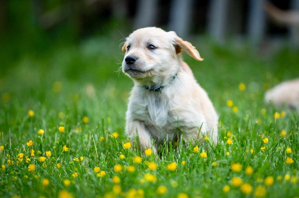 Before the age of four months, puppies should be exposed to positive experiences with everything that will be part of their normal life.