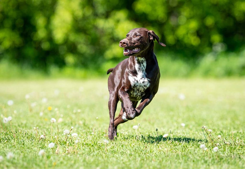 There are certain basic signs that indicate that a dog is experiencing muscle problems.